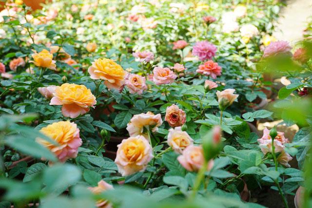 Dịch vụ chăm sóc vườn hoa hồng
