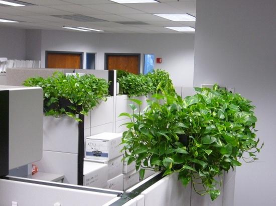 cây trầu bà đặt ở văn phòng