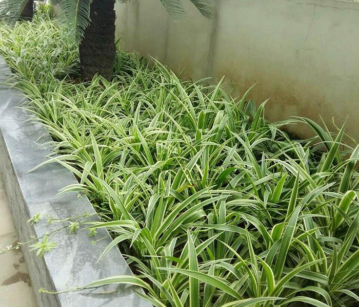 cây cỏ lan chi trồng viền