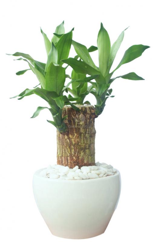 cây thiết mộc lan 1 thân, 1 gốc