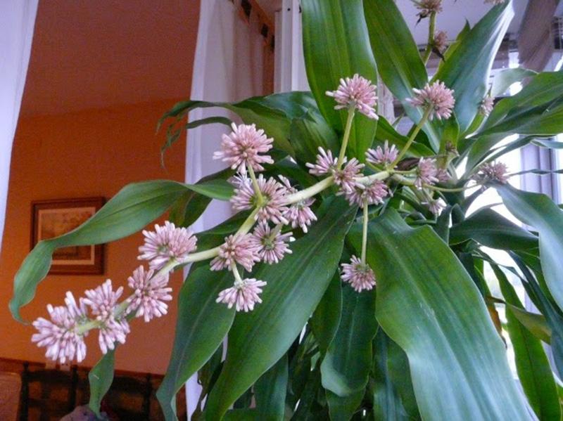 hoa của cây thiết mộc lan