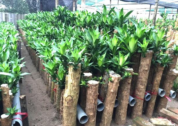 vườn cây thiết mộc lan