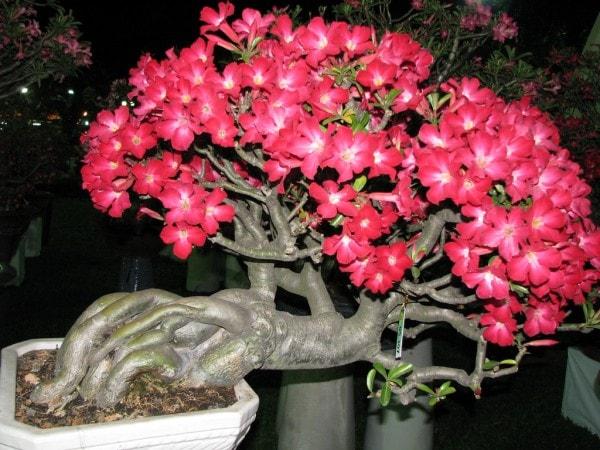 cây sứ thái lan