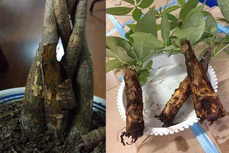 cây kim ngân thối thân rể