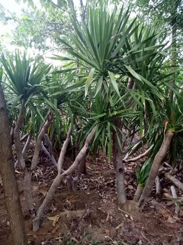 trồng cây phát tài núi