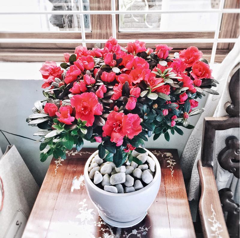 cây hoa đổ quyên đẹp