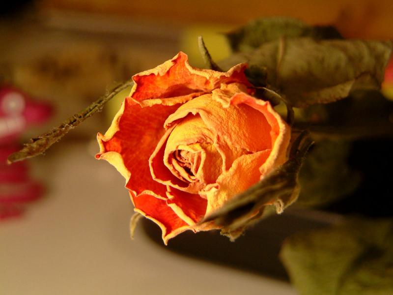 hoa hồng khô