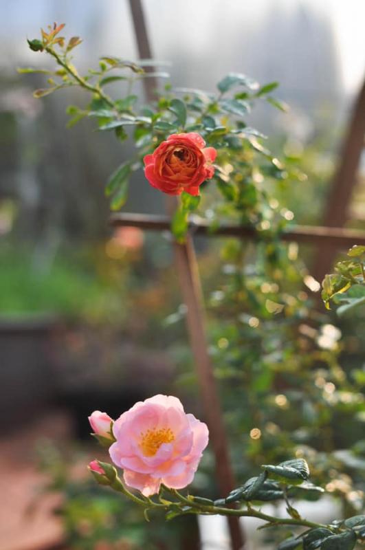 hoa hồng soleil romantica
