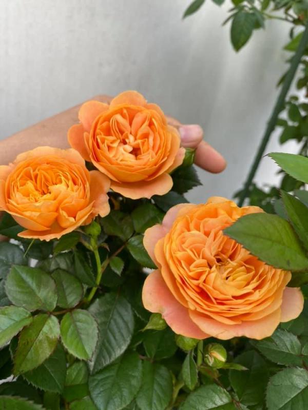 Hoa hồng tezza