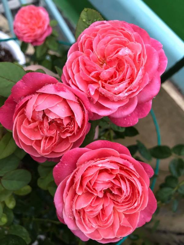 hoa hồng pope