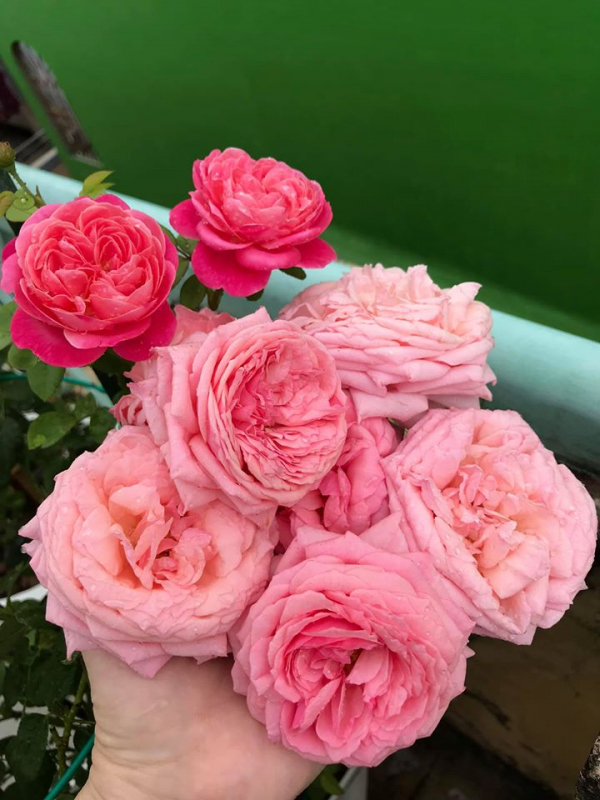 hoa hồng pope nở rộ