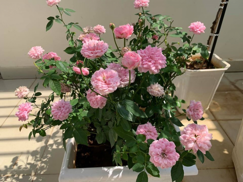 hoa hồng tuyệt đẹp rose