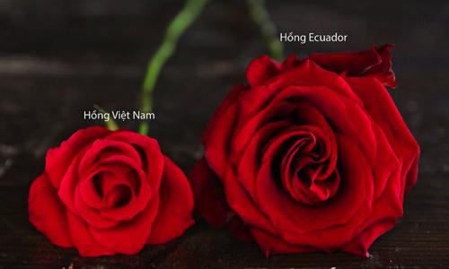 hoa hồng ecudor đỏ