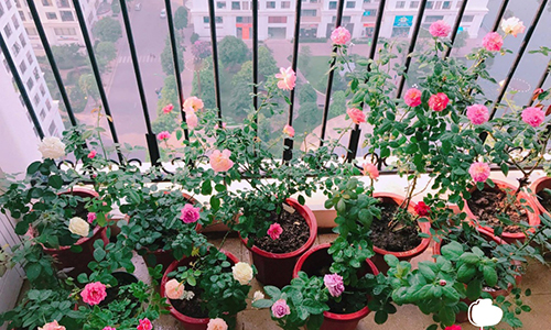 hoa dễ trồng