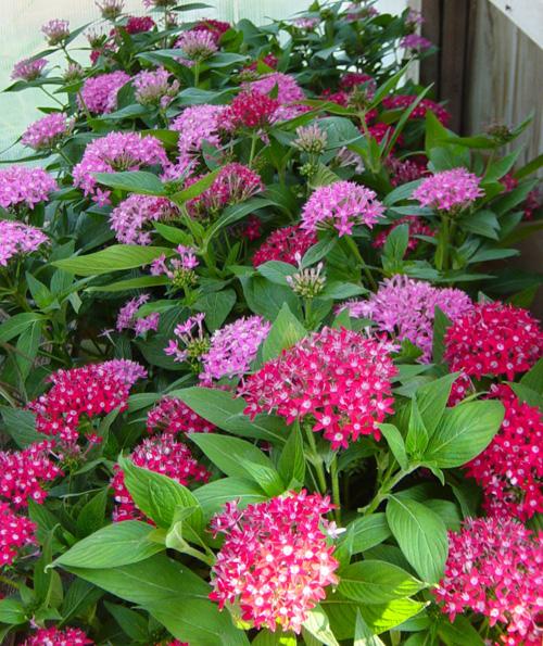 hoa diễm châu