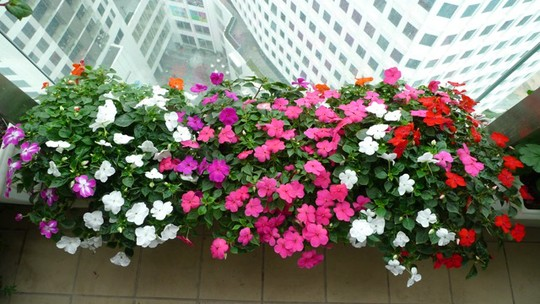 hoa dừa cạn
