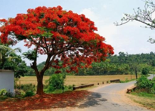 Đặc điểm của cây hoa phượng vĩ
