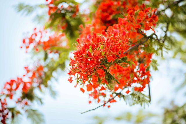cách chăm sóc hoa phượng vĩ