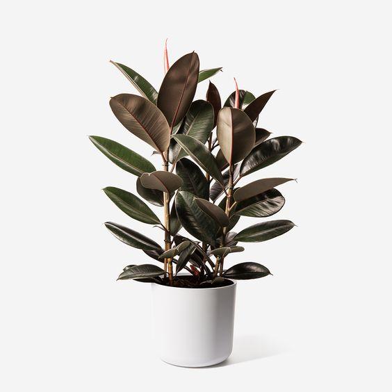 cung ma kết hợp cây búp đa đỏ