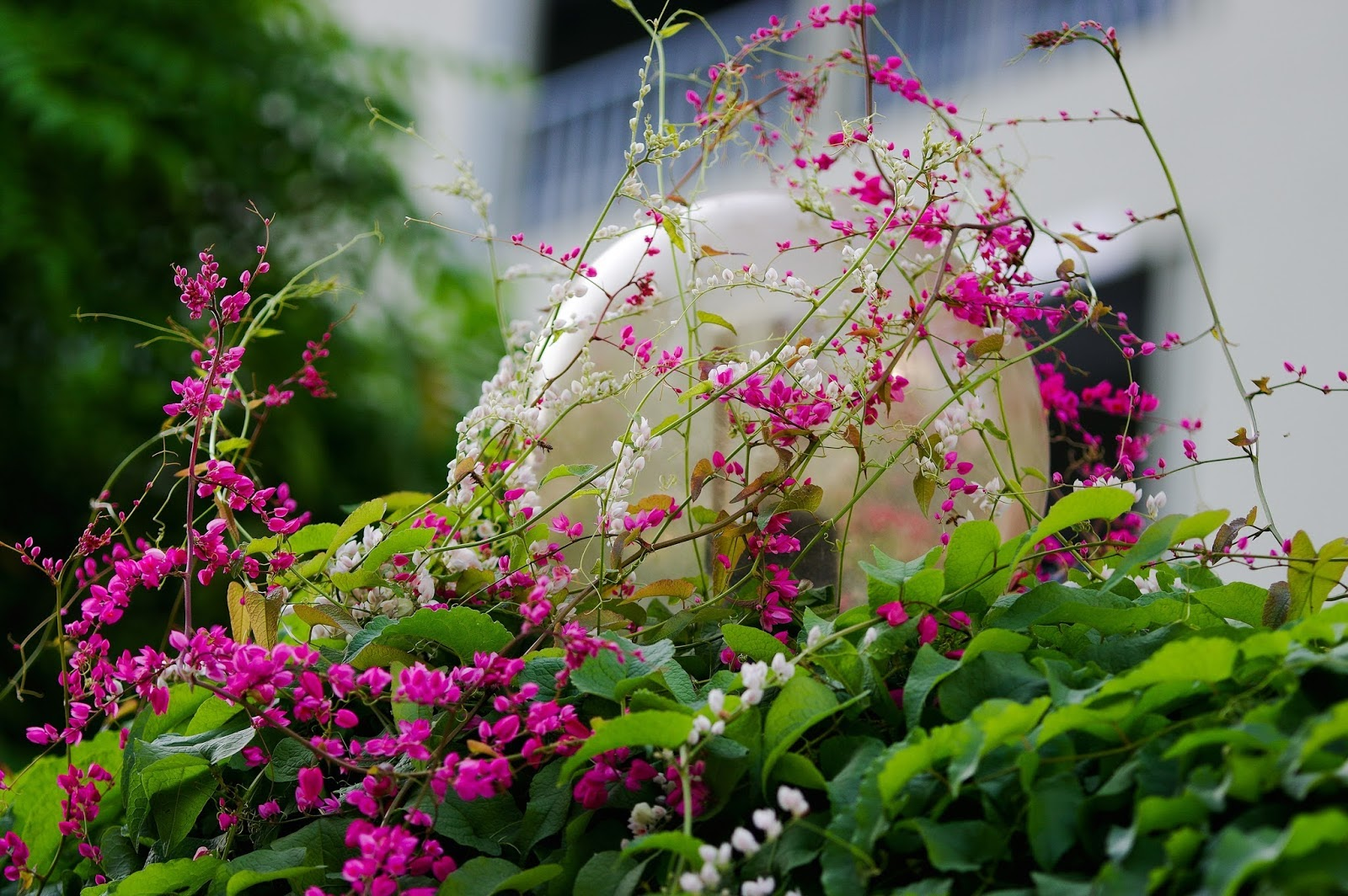 hàng rào hoa tigon