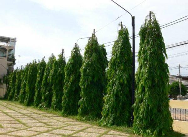 hàng rào cây hoàng nam