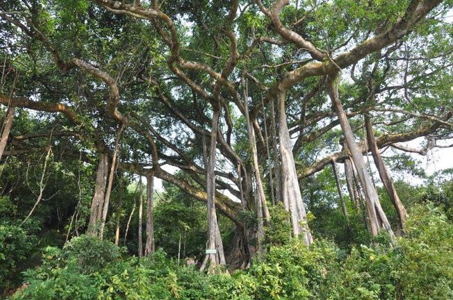 cây đa ngàn tuổi