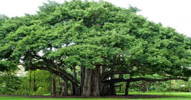 cách trồng và chăm sóc cây đa