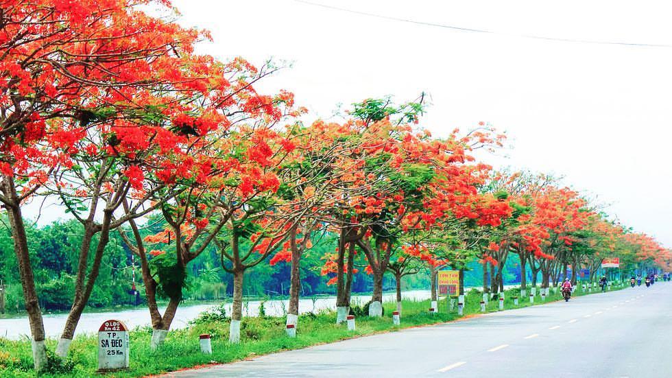 hàng cây hoa phượng