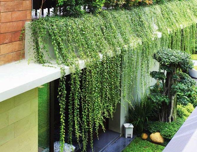 cách trồng và chăm sóc cây cúc tần ấn độ