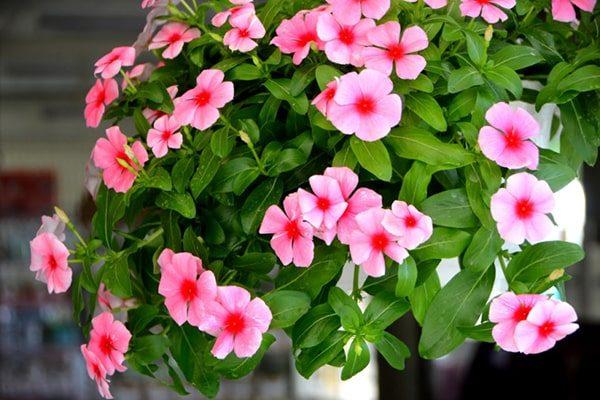 giỏ cây hoa dừa cạn tuyệt đẹp