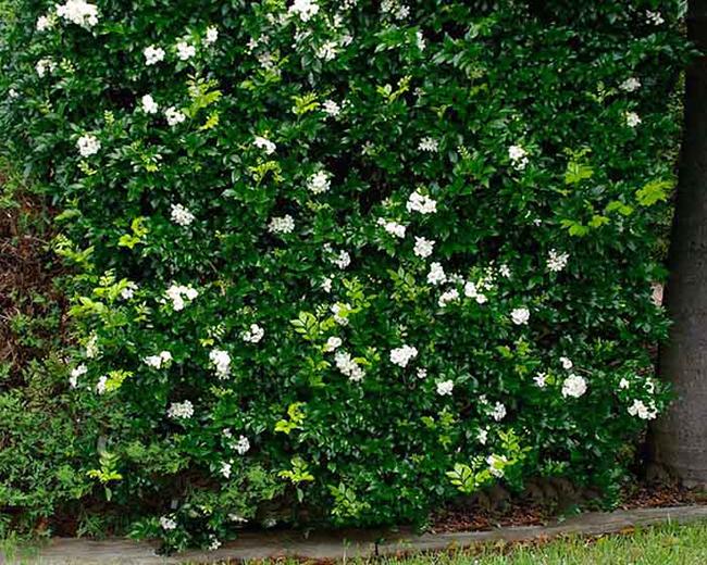 tường cây hoa nguyệt quế
