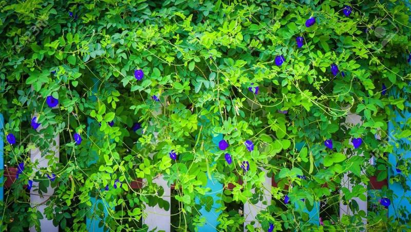 cách trồng và chăm sóc hoa đậu biếc