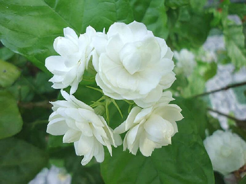 ý nghĩa của hoa nhài