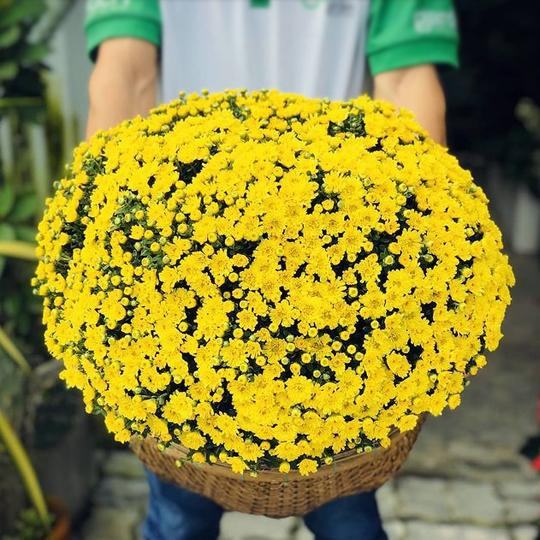 Thumb Hoa cúc mâm xôi